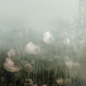 White poppies in hazy green air