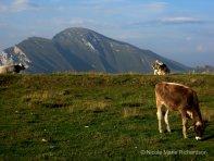 Mountain top cows
