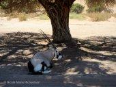 Oryx chillin'