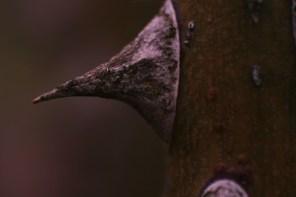 Macro Thorn III