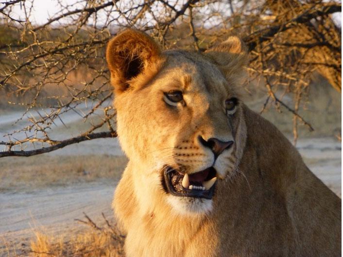 lioness-zimbabwe