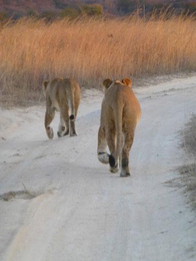 lionesses - zimbabwe