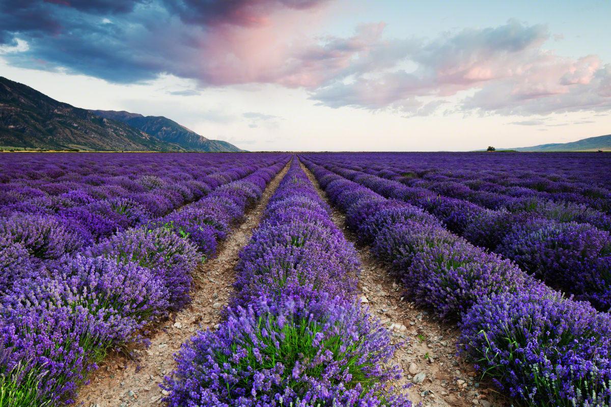 lavender-1666