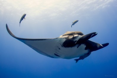 Giant Manta Ray, Socorro Islands, Mexico