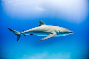 A silky shark in the Socorro Islands, Mexico