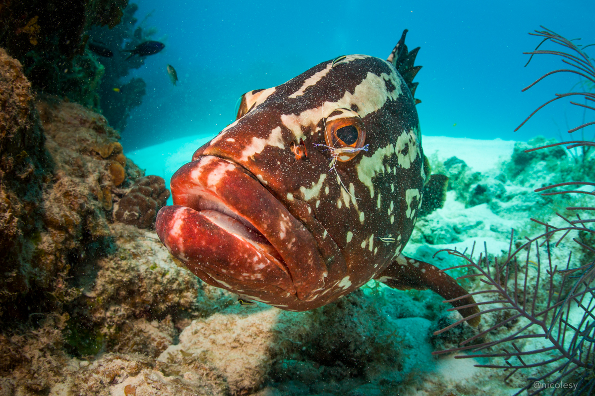 Grouper in the Cayman Islands