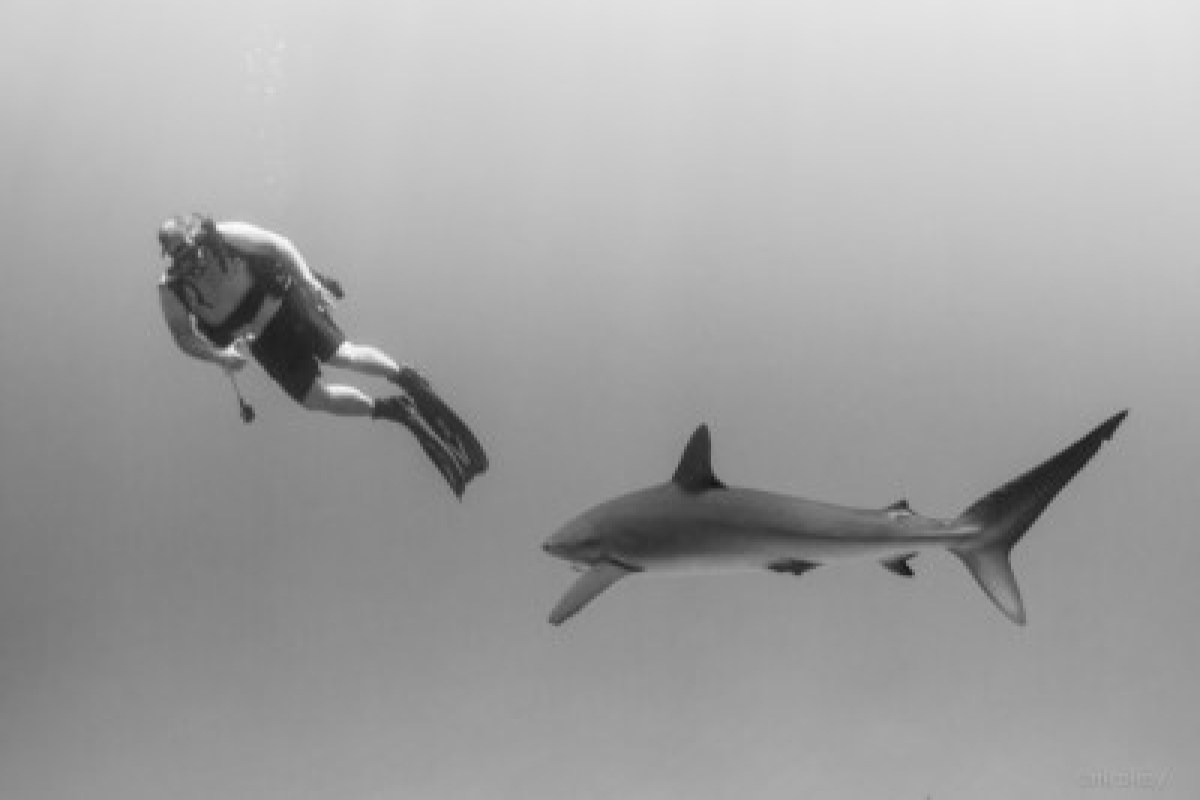 Silky shark with diver in the Socorro Islands