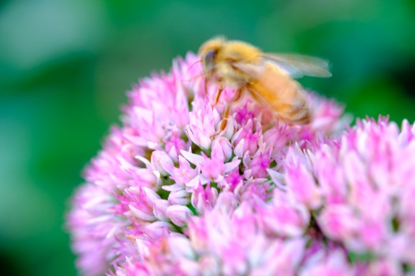 At 1/30th of a second the shutter speed is WAY too slow to both hand-hold the bee and photograph it without moving. As a result thereis a significant amount of motion blur in thisimage.(FUJIFILM X-T2, FUJINON 60mm lens, 1/30 sec at f/4, ISO 200)(© Nicole S. Young — nicolesy.com)