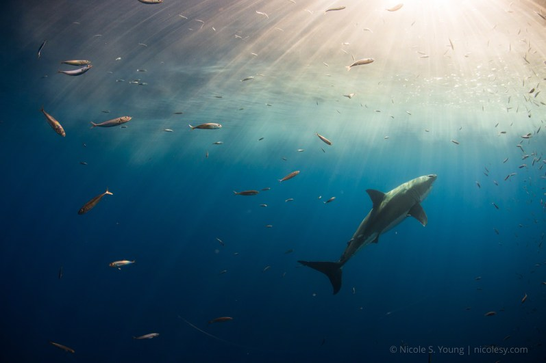 A great white shark in Guadalupe Island, Mexico. © Nicole S. Young   nicolesy.com © Nicole S. Young — nicolesy.com