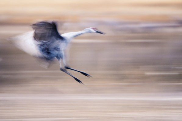 This panning shot of a Sandhill Crane in Bosque del Apache was created by following the bird as it flew through the air.