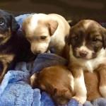 Dido puppy