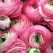 Pink Ranunculus- PR 017_ Ronnie Bennett