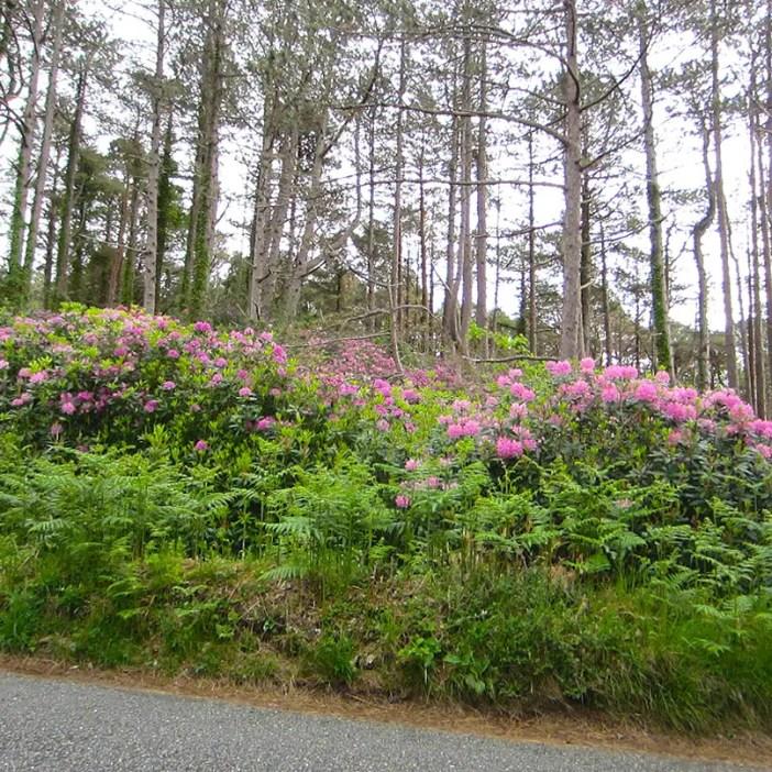 Rundreise-irland-reisetipps-irland-Rhododendron-plage