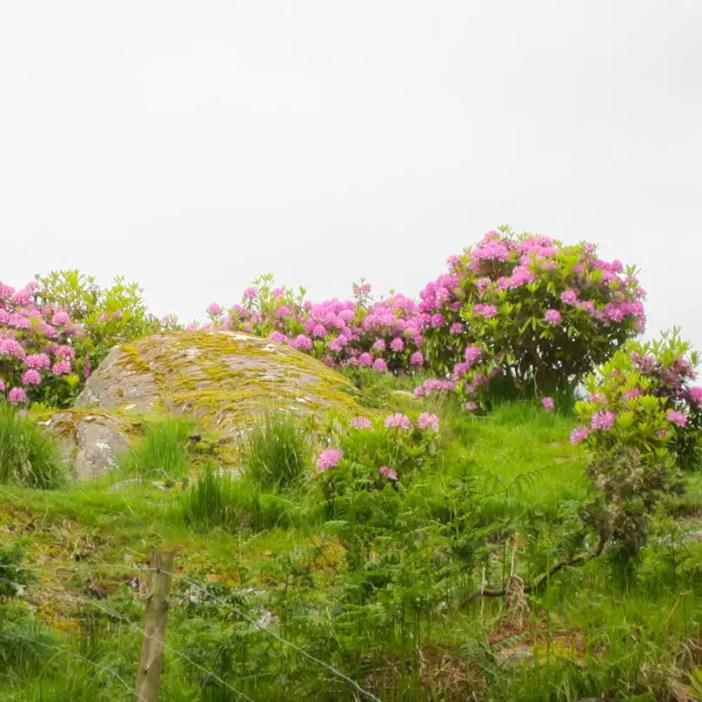 Rundreise-irland-reisetipps-irland-Rhododendron