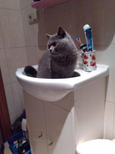 opieka nad kotem brytyjskim