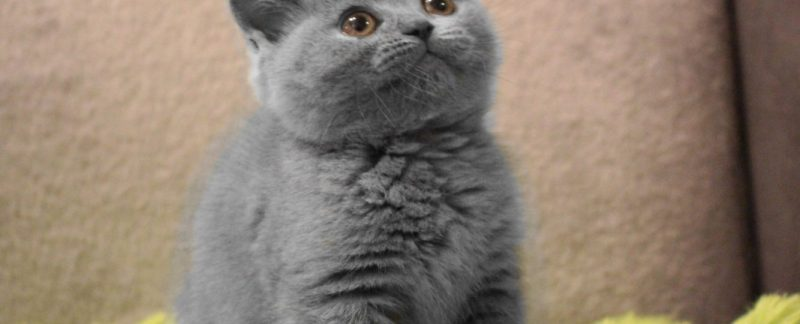 Hodowla Kotów Brytyjskich Niebieskie Misie*PL opinie