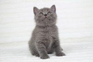 koty brytyjskie niebieskie krótkowłose miot p