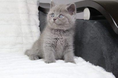 koty brytyjskie niebieskie krótkowłose miot-r
