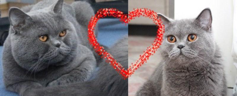 Koty brytyjskie Fionka i Elmo