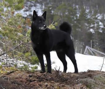 Elghund noir