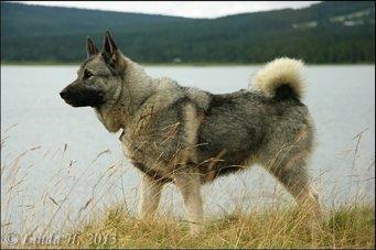 Elghund gris