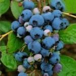 Blauwe Bes Vaccinium Corymbosum Dixi