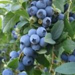 Blauwe Bes Vaccinium Corymbosum Goldtraube 71