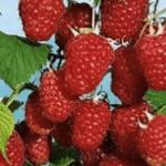 Framboos Rubus Idaeus Malling Promise