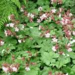 Groenblijvende Bodembedekker Geranium Macrorrhizum Ooienvaarsbek