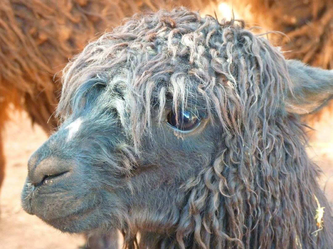 alpaca-43407_1280