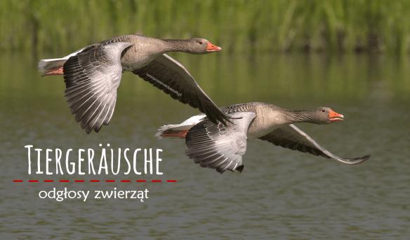 Tiergeräusche - odgłosy zwierząt