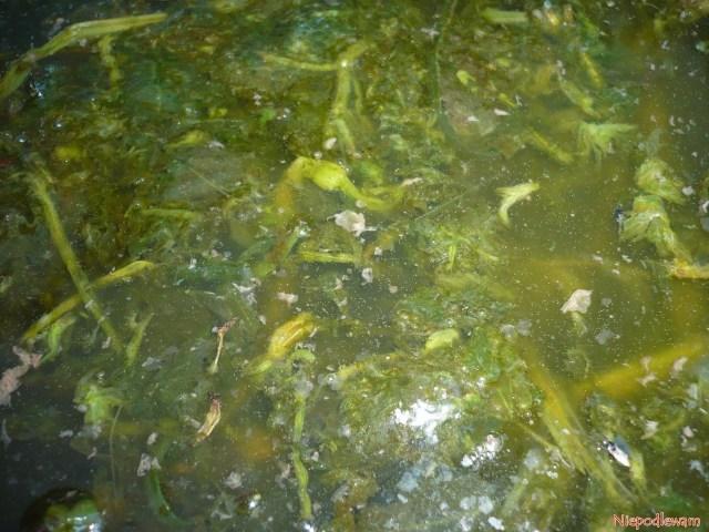 Gotowa doużycia gnojówka zpokrzywy. Koniecznie trzeba ją rozcieńczać wproporcji 1 litr nawozu na10 litrów wody. Fot.Niepodlewam