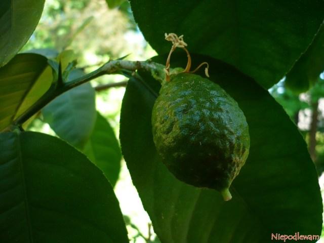 Cytryna owocująca naparapecie. Fot.Niepodlewam