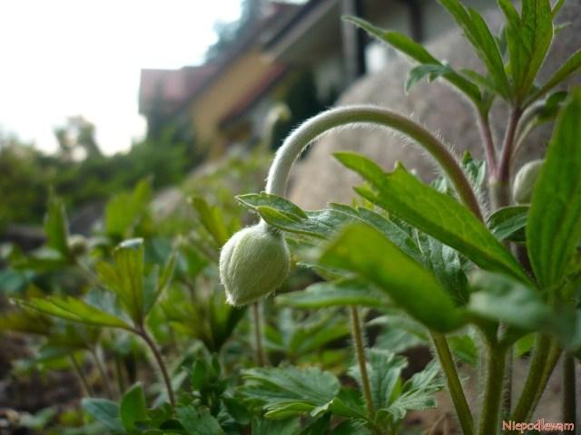 Pierwsze pąki zawilców wielkokwiatowych pojawią się wkwietniu. Fot.Niepodlewam