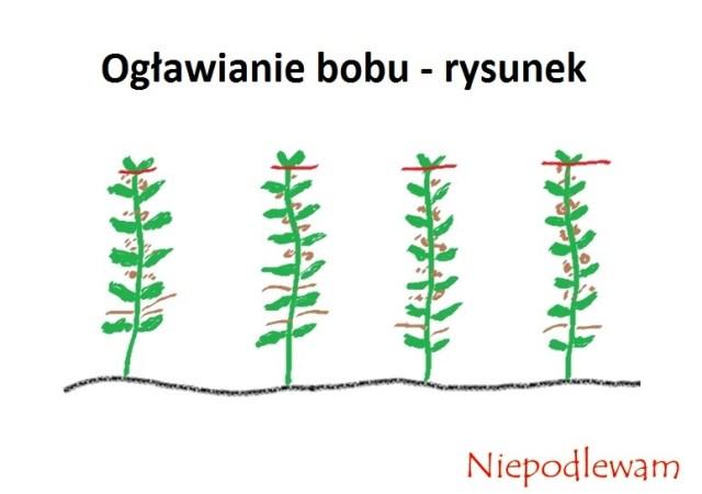 Ogławiane bobu - czerwonymi kreskami zostały zaznaczone miejsca cięcia szczytowych pędów. Jeśli rośliny mają pokilka pędów, tnie się wszystkie.