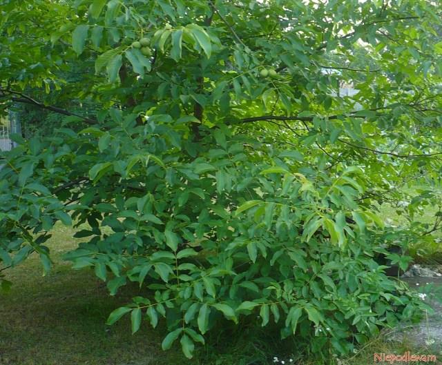 Orzech włoski (Juglans regia) - doukorzeniania nadają się tylkorośliny opokroju krzaczasty, takjak ten. Takwyhodowane drzewka owocują bardzo szybko iidentycznie jak rośliny-matki.