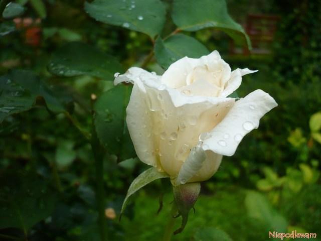 Róża Papst Johannes XXIII - odmiana z1963 roku obiałych kwiatach, jak papieska sutanna. Fot.Niepodlewam