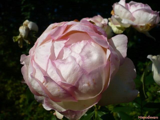Róża Honore de Balzac ma kuliste, różowobiałe kwiaty. Fot.Niepodlewam
