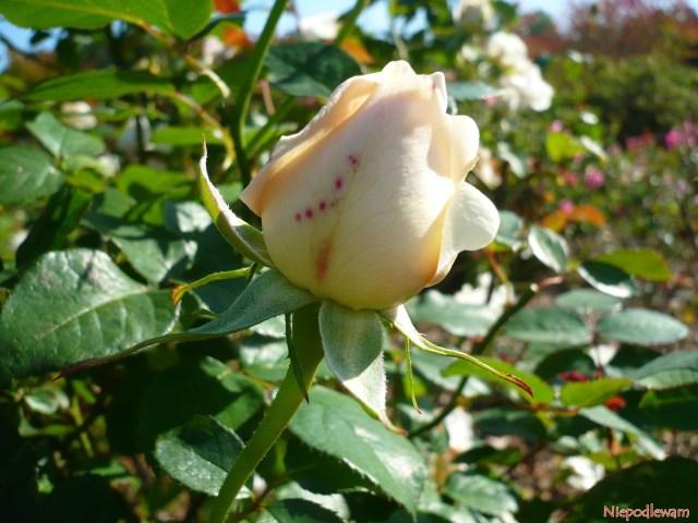 Pąk róży Sebastian Kneipp. Fot.Niepodlewam