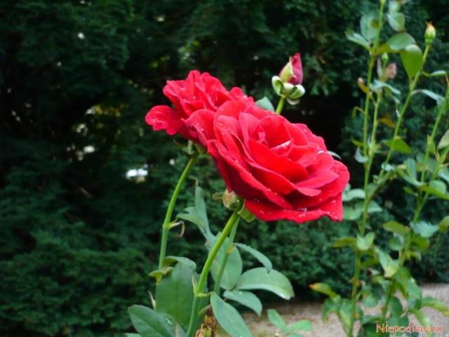 Róża odmiany Mr Lincoln ma czerwone, pachnące kwiaty. Fot.Niepodlewam