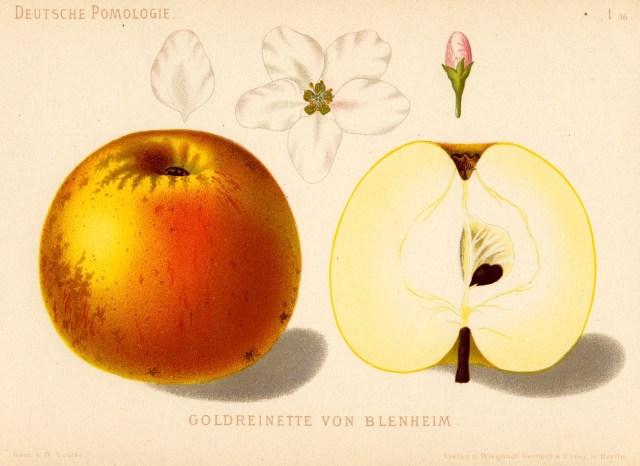 """Jabłoń Reneta Blenheimska – rysunek zksiążki """"Deutsche Pomologie"""" Wilhelma Lauche z1882-1883, zezborów biblioteki Wageningen UR."""