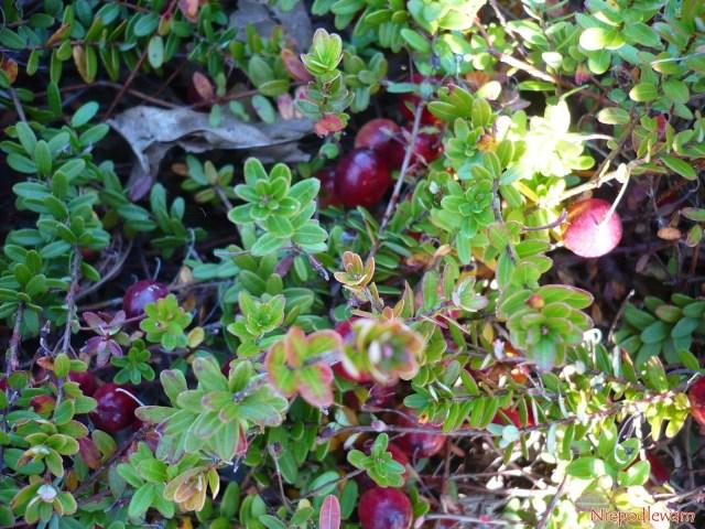 W ogrodach najczęściej uprawia się żurawinę wielkoowocową (Vaccinum macrocarpon), którama duże owoce (nazdjęciu: odmiana Franklin). Rzadziej uprawiana jest żurawina błotna (Vaccinium oxycoccus), którarośnie dziko napolskich bagnach. Fot.Niepodlewam
