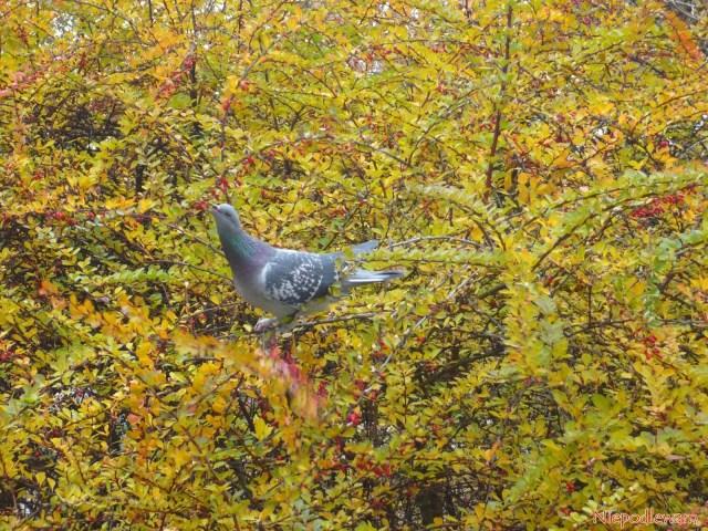 Odchody gołębi są bardzo dobrym, naturalnym nawozem doogrodu. Fot.Niepodlewam