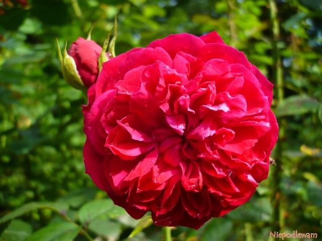Róża William Shakespeare. Fot.Niepodlewam