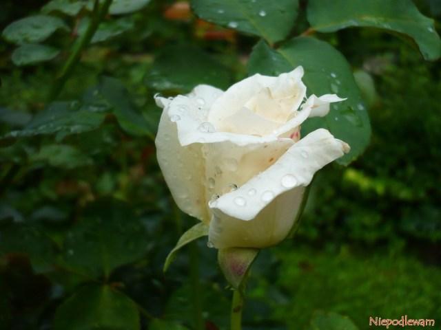 Róża Papst Johannes XXIII. Fot.Niepodlewam