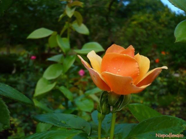 Róża Profesor Kownas. Fot.Niepodlewam