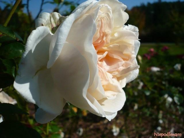 Róża Sebastian Kneipp. Fot.Niepodlewam