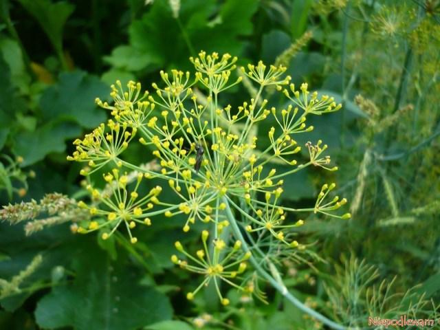 Koper ogrodowy powinien być zawsze wogrodzie, bo chroni inne rośliny przedchorobami szkodnikami. Jest też zdrowy dla ludzi, m.in.zapobiega zawałom czyudarom. Fot.Niepodlewam