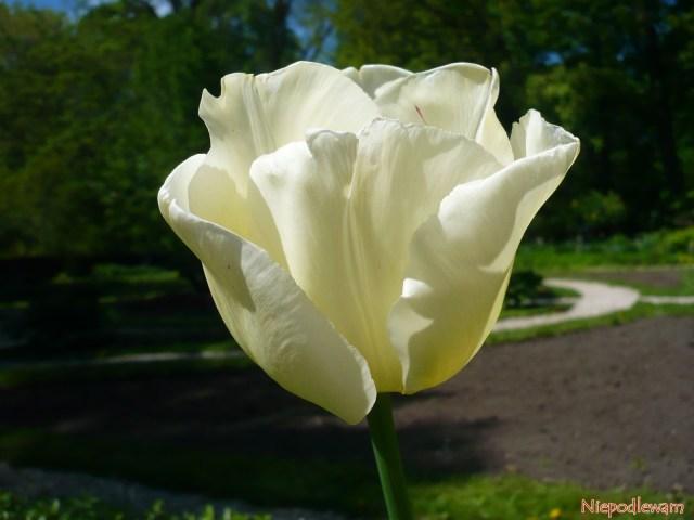 Tulipan Maria Kaczyńska - zprofilu kształt kwiatu przypomina miękko układającą się suknię. Fot.Niepodlewam