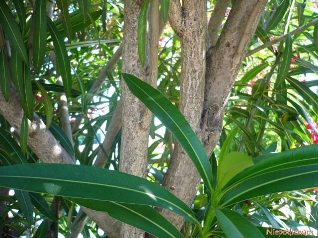 Drewna oleandrów nigdy niewolno palić, bo jest trujące (także dym). Fot.Niepodlewam
